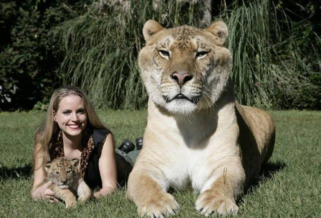 meet hercules the guiness record holder for worlds largest cat